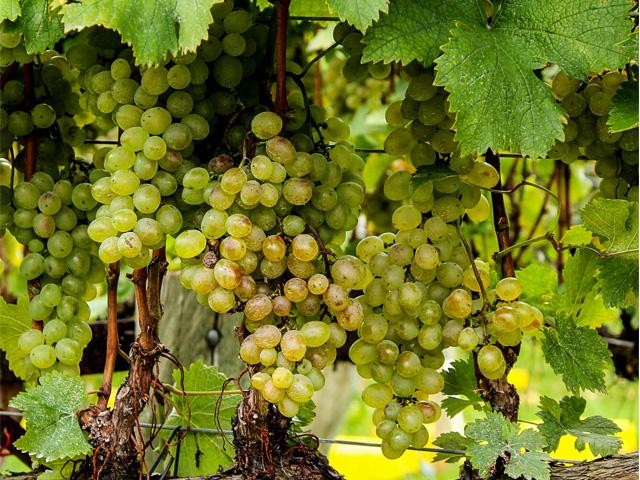 Víno bílé
