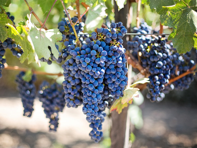 Víno modré