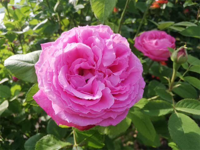 Růžová Jiskra