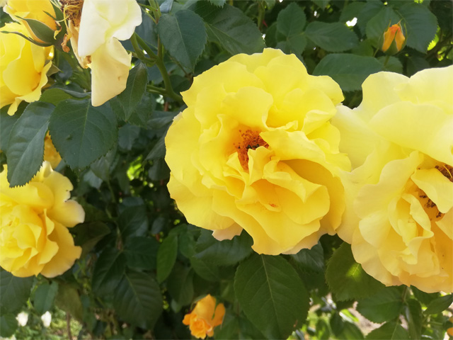 Kozolupská žlutá
